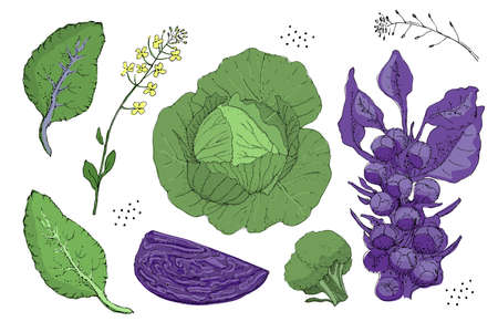 Vector set with fresh white cabbage, purple cabbage, green broccoli, purple brussels sprouts, leaves, seeds and yellow flowers. Isolated natural elements on white background. Summer, autumn harvest.