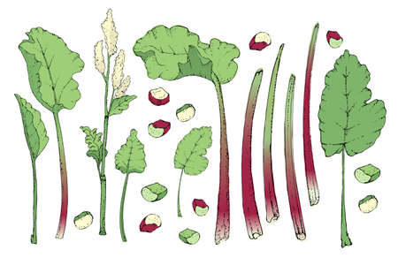 Vegetable vector set with rhubarb. Fresh pieplant with green leaves, green and red stems, white and pale yellow flowers, whole and cut into pieces. Also finger of rhubarb. Isolated elements on white.