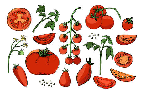 Vegetable vector sketch. A set of tomatoes of different types. Isolated tomato, cut into slices and cherry tomatoes. Red fruits, green tops, yellow flowers and seeds.