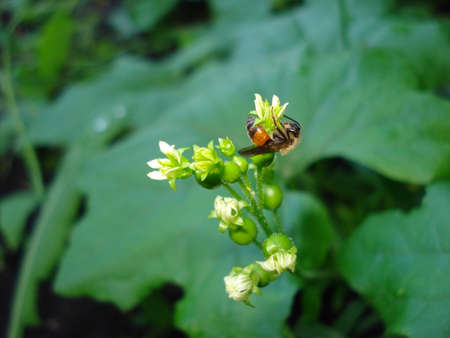 A wasp on an ivy flower. A close-up shot.