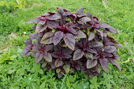 The red amaranth Valentina. Fresh medicinal plant with maroon leaves grows in the garden among green grass. Useful for health, edible herb. Zdjęcie Seryjne