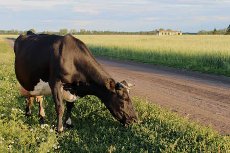 A spotted cow grazes the grass in a meadow by the road. Rural landscape with a cow and a wheat field.