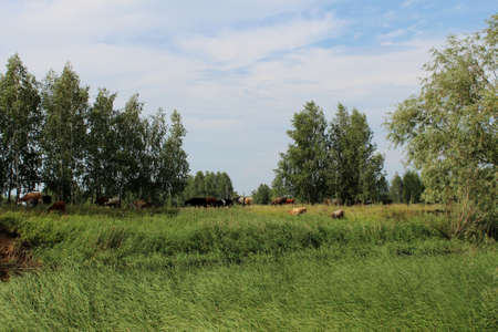 A herd of cows graze in a meadow near the river on a Sunny day. Rural landscape with trees and blue sky. Cows of different colors graze the grass.