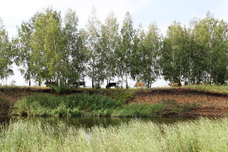 A herd of cows graze in the shade of trees over a cliff near the river. Rural landscape with trees and blue sky.