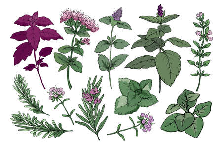 Vector set with culinary spicy herbs. Rosemary, thyme, mint, oregano, melissa, green and purple cinnamon basil and Italian basil with leaves and flowers. Herbal sketch. Vettoriali