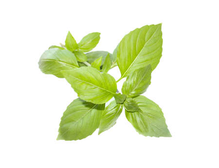 Green basil with stem, leaves. Fresh spicy and cooking herb on white background. Aroma plant.