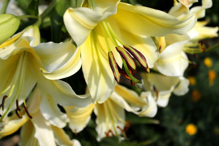 Large garden Lily. Pale yellow flowers with pistils, stamens and pollen. 免版税图像