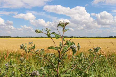Arctium lappa, agrimony. Burdock plant on the background of a wheat field and blue sky with clouds. Landscape with thistles. 免版税图像 - 152079938