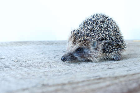 Cute little hedgehog on a wooden Board. Muzzle of a hedgehog close-up.