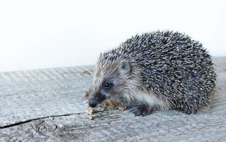 Cute little hedgehog on a wooden Board. The mammal eats pieces of meat. Muzzle of a hedgehog close-up. 免版税图像 - 152306410
