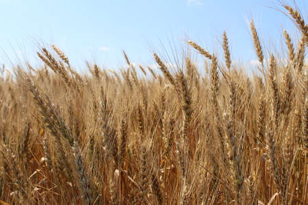 Ripe wheat ears on the light blue sky background. A thick summer cereal field. Farm crops. 免版税图像