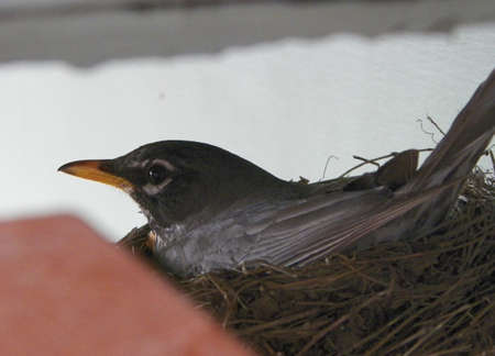 Robin in a Nest