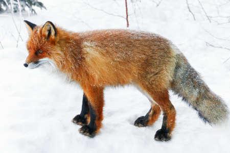Młody lis rudy w pokrytym śniegiem drewnie