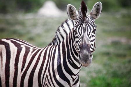 Wild zebra in an African savanna