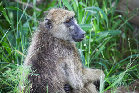 Baboon sitting in a high grass