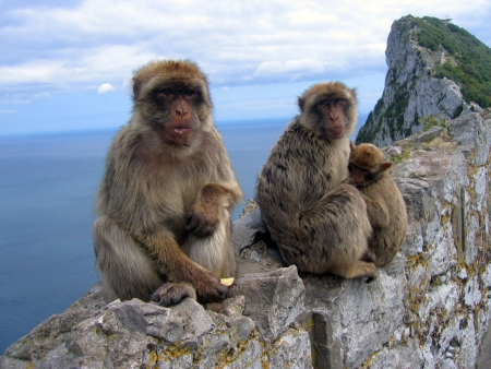 simian: Family of monkeys, Barbary Macaques, sitting in the Gibraltar Rock Stock Photo