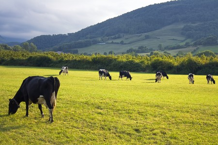 isolatedrn: Several ruminant cows grazing in a green countryside