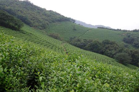 hillside: Hillside tea