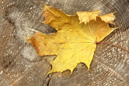 golden section: One Maple Tree Leaf on the Wood Cross Section