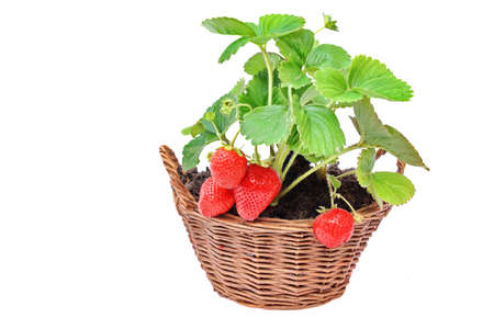 Everbearing Strawberries in the Basket Isolated on White Background photo