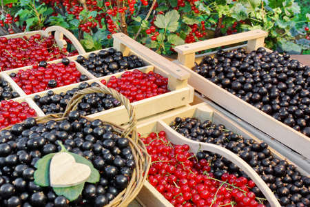 Black And Red Currants Berries Harvest In The Wood Crate And Red Curant Bush In The Summer Garden  Background photo