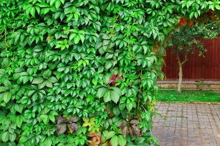 ivy hanging: Ornamental  Wall From Wild Grape Vine On The Backyard