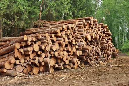 illegal logging: Landscape With Large Woodpile In The Summer Forest From Sawn Old Big Pine And  Spruce De-Barcked Logs For Forestry Industry