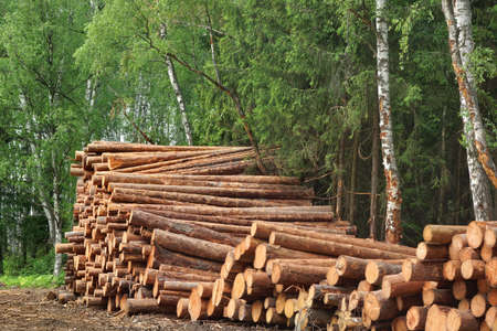 forestry industry: Landscape With Large Woodpile In The Summer Forest From Sawn Old Big Pine And  Spruce De-Barcked Logs For Forestry Industry