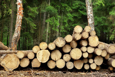 forestry: Landscape With Large Woodpile In The Summer Forest From Sawn Old Big Pine And  Spruce De-Barcked Logs For Forestry Industry