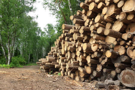 woodpile: Landscape With Large Woodpile In The Summer Forest From Sawn Old Big Pine And  Spruce De-Barcked Logs For Forestry Industry