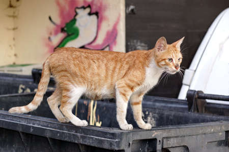 catling: Homeless Redhead Kitten Cat On The Trash Container,  Full Growth Portrait. Urban Graffiti Wall In The Background