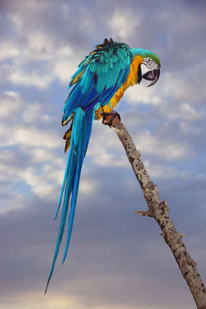 ararauna: Blue And Yellow Macaw Or  Ara Ararauna  Parrot On The Wood Branch At Nature Stock Photo