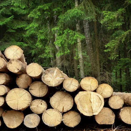 woodcutting: Timber Harvesting For Lumber Industry Or  Wooden Housing Construction Concept. Large Woodpile From Sawn Debarked Pine Wood Logs Stock Photo