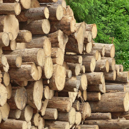timber harvesting: Timber Harvesting For Lumber Industry Or  Wooden Housing Construction Concept. Large Woodpile From Sawn Debarked Pine Wood Logs Stock Photo