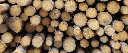 timber: Timber Harvesting For Lumber Industry Or  Wooden Housing Construction Concept. Large Woodpile From Sawn Debarked Pine Wood Logs Stock Photo