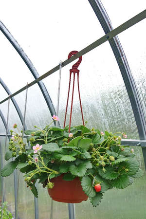 hanging basket: Blooming Remontant Strawberries In Hanging Basket With Red And Green Berries In The Greenhouse At Springtime Stock Photo