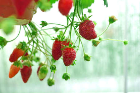 Potted Garden Red Strawberry With Many Riped Berries Hanging In Greenhouse, Closeup Stock Photo