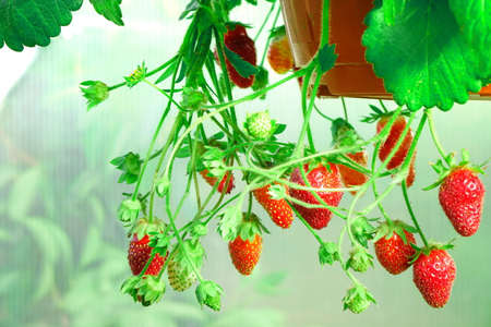 Potted Garden Ripe Strawberry With Many Berries Hanging In The Greenhouse, Closeup, HDR Stock Photo