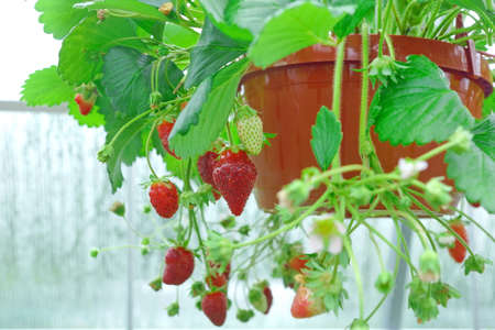 riped: Potted Garden Red Strawberry With Many Riped Berries Hanging In Greenhouse, Closeup Stock Photo