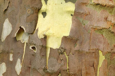 bark peeling from tree: Mottled Sycamore Tree Bark And Trunk Background Or Texture, Close-up, Horizontal Image With Copy Space