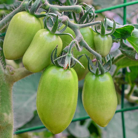 hothouse: Oblong Unripe Green Tomatoes  Bunch Hanging On Twig In Hothouse Or Greenhouse, Close-up Stock Photo