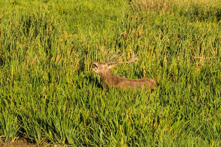 bellowing: bellowing Deer