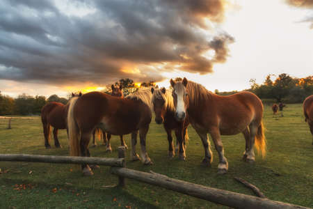 manes: Free horses at sunset with yellow manes Stock Photo