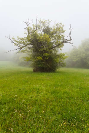 centenary: Centenary oak in green grass Stock Photo