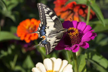 Eating in a flower buterfly