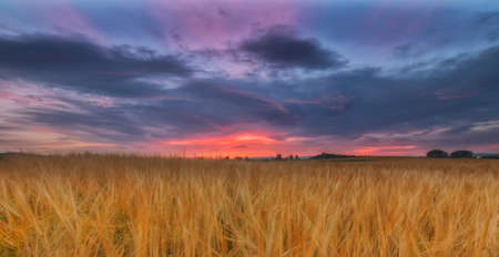 Yellow cereal field under a cloudy sunrise Stock Photo