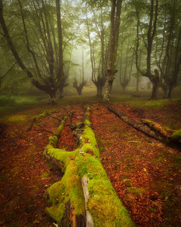 Beech forest in natural Gorbea park in Euskadi Banco de Imagens