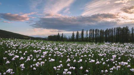 Opium poppy field in Trevino, Burgos,Spain