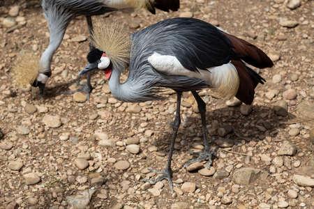 Close protrait of a Grey crowned crane