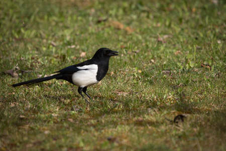 Common and eurasian magpie in Espejo, Alava, Spain 版權商用圖片